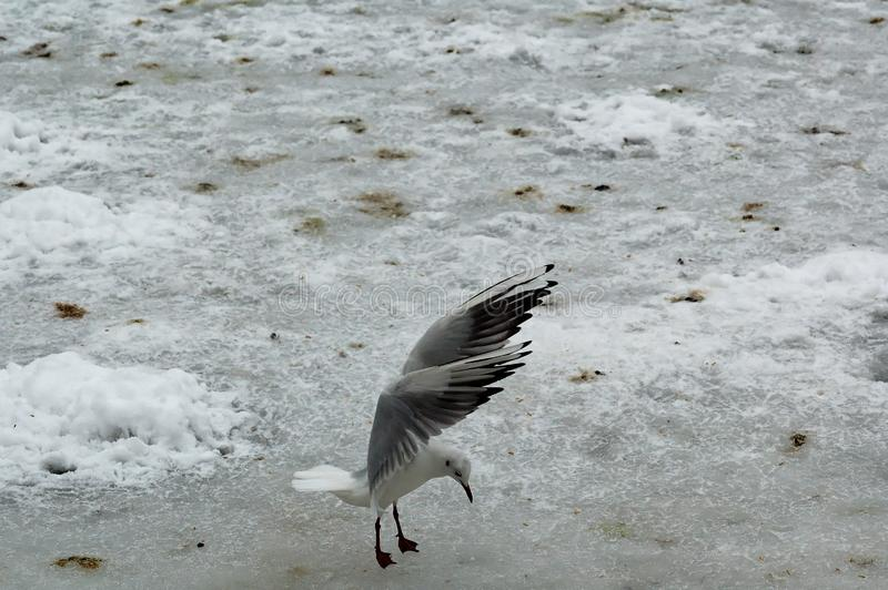 Free bird tern on white snow waving wings stock photo