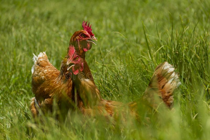 Free chickens in organic egg farm walking on green grass royalty free stock images