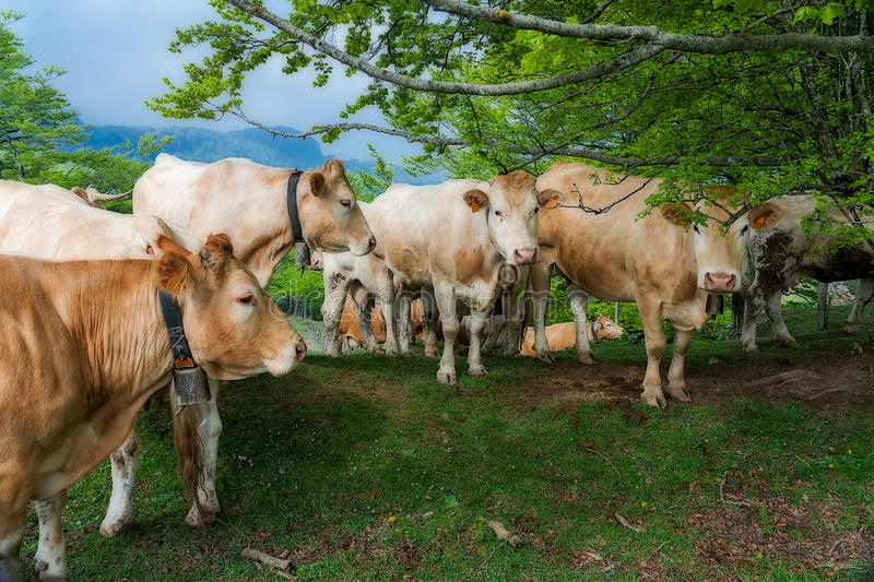 Free cows royalty free stock photos