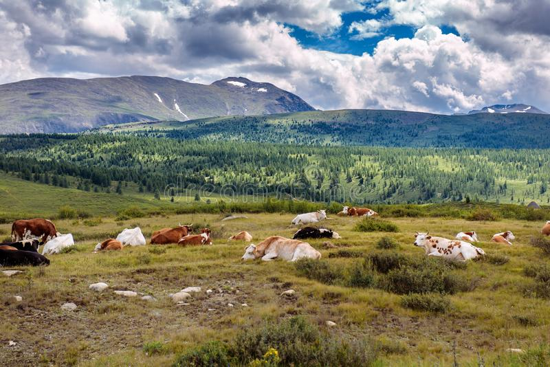 Free cows are resting on a mountain pasture in summer day. Cows graze freely in the mountains, lie on the ground against the royalty free stock image