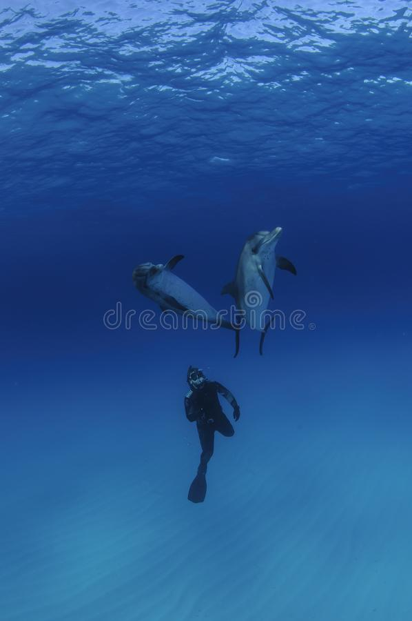 Download Free Diver Among Two Friendly Dolphins In Clear Blue Waters Of Bahamas Editorial Stock Photo - Image of dolphin, beauty: 110655703
