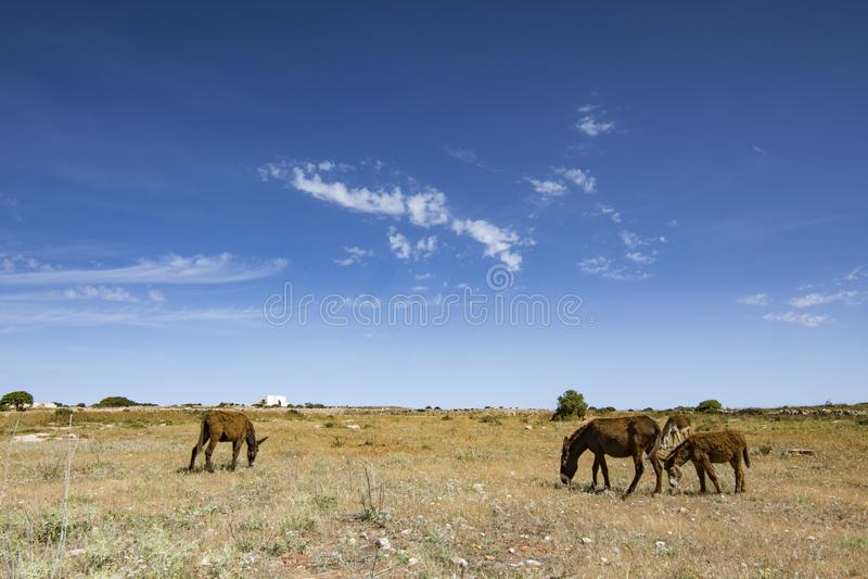 Donkeys, Dodecanese Greece. Free donkeys, Dodecanese islands, Greece stock photography
