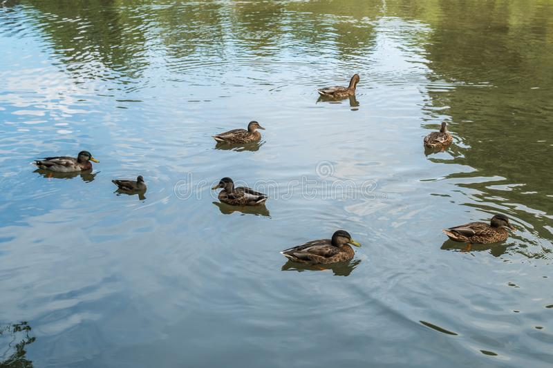 Free ducks swimming in the water in Sempione Park, Milan royalty free stock images