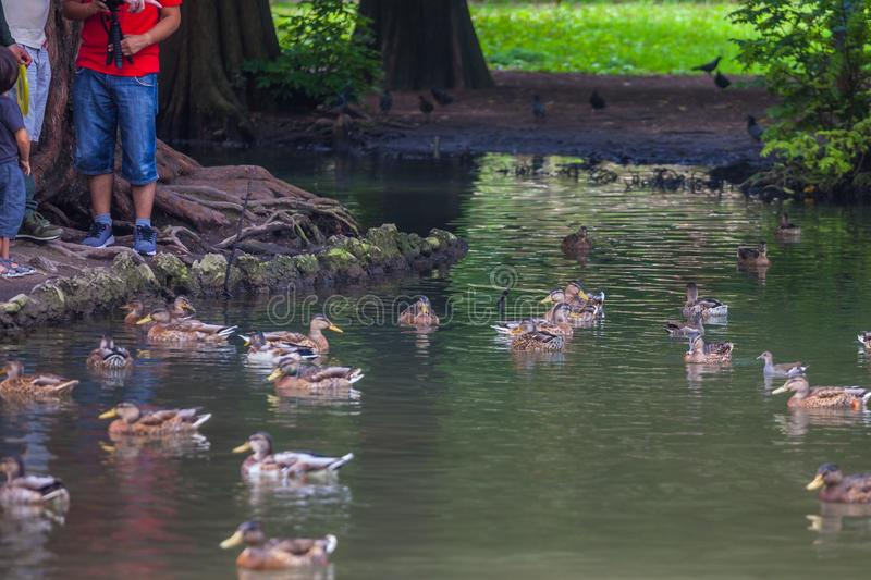 Free ducks swimming in the water in Sempione Park, Milan stock image