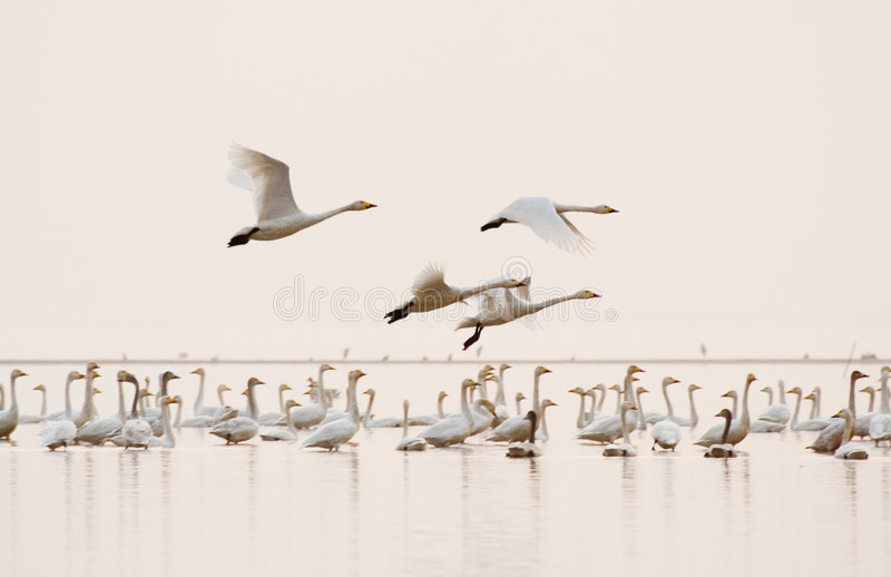 Free flying. Swans are flying freely in poyanghu stock images