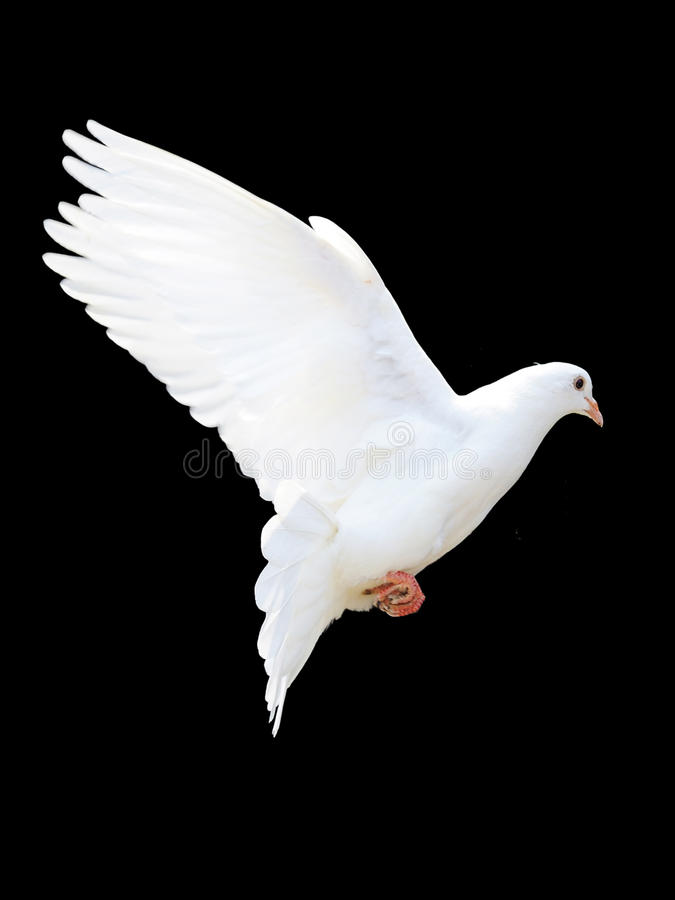 Download A free flying white dove stock image. Image of flight - 19338205