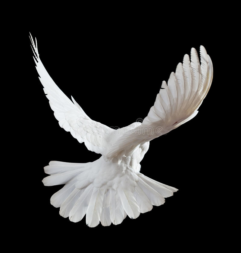A free flying white dove isolated on a black. Background
