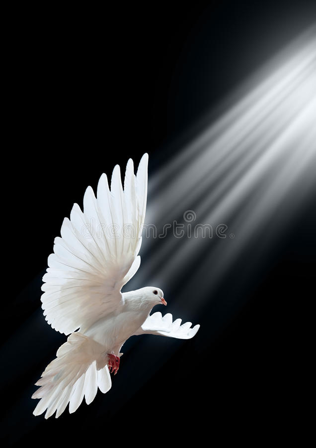 Download A Free Flying White Dove Isolated On A Black Stock Image - Image: 11708239