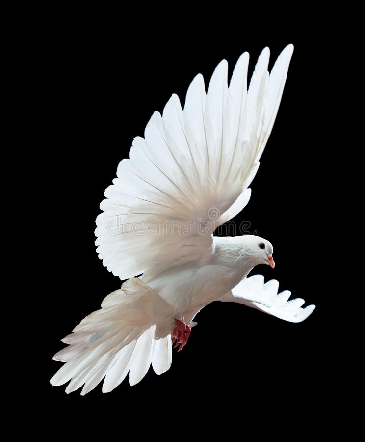 Download A Free Flying White Dove Isolated On A Black Stock Photo - Image: 12019062