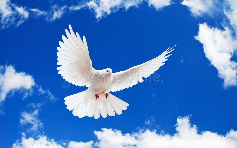 A free flying white dove isolated on a white backg