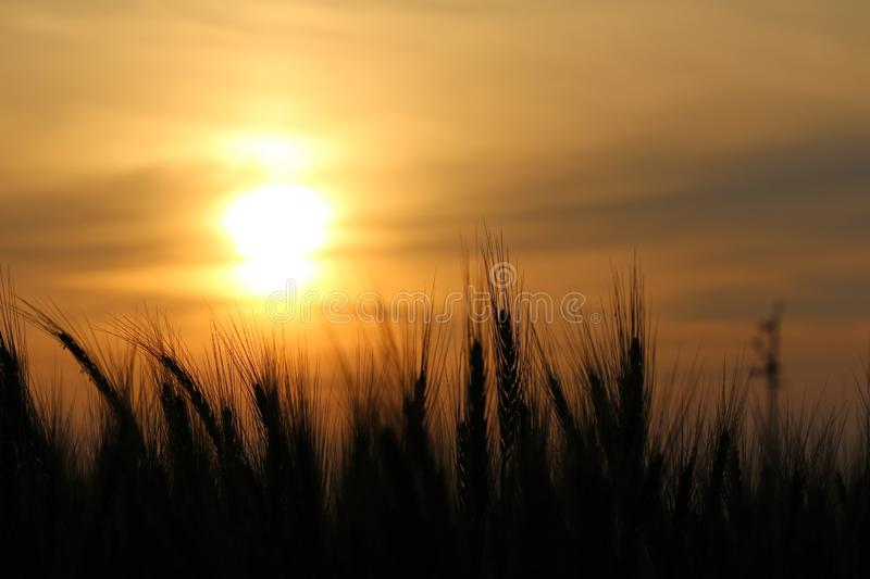 Sunset. The free high resolution photo of background, wheat,clouds,evening,sun,golden,horizon,landscape,light,morning,nature,outdoor, twilight, light. taken with stock image