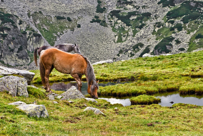 Free horse. Into the Retezat mountain, drinking water royalty free stock photography