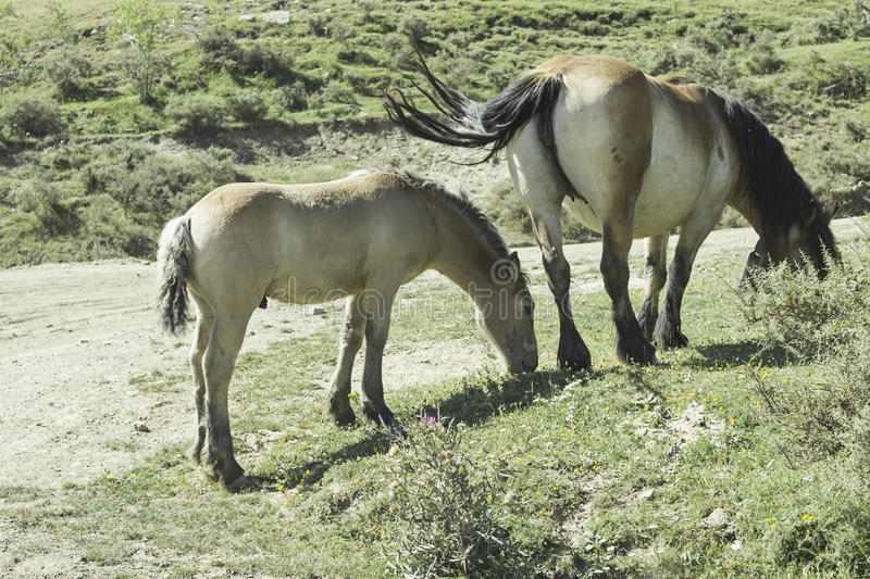 Free Horse and Pony. Horse with foal in mountain field, animals and nature stock images