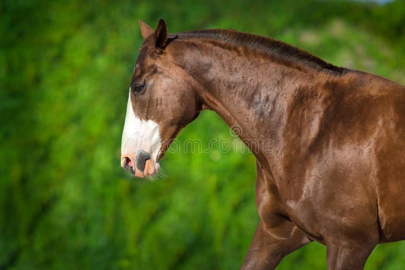 Horse portrait in motion. Free horse portrait in motion against green landscape. Horse at summer green meadow stock photos