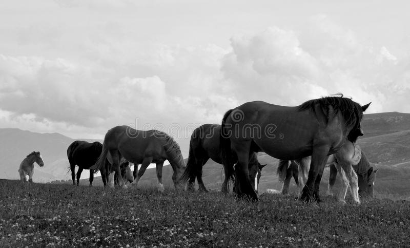Free horses BW stock photo