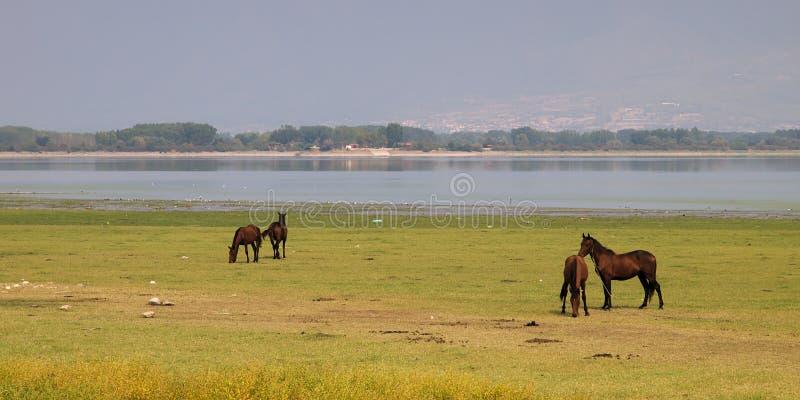 Free horses in lake Kerkini, Greece. stock images