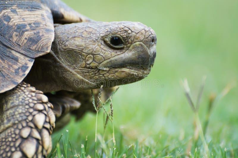 Free living turtle in Botswana royalty free stock image
