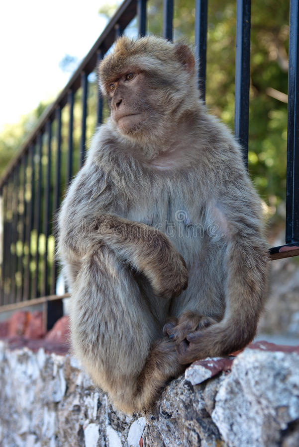Free Monkey on the Rock of Gibraltar. Gibraltar. royalty free stock image