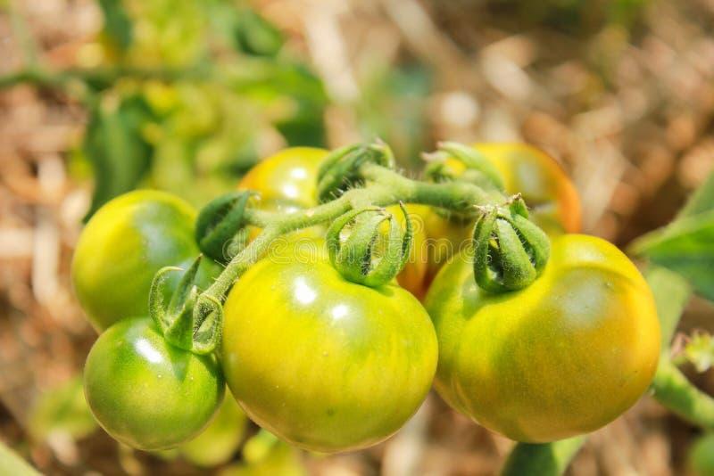 Free Natural Tomatoes royalty free stock photo