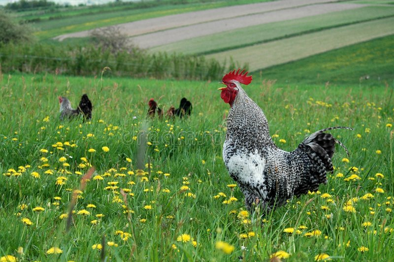 Free Range 2. A free range Rooster looking for food in a grassy field with his hens