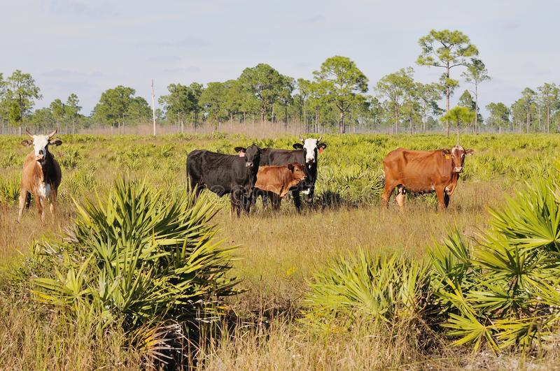 Free range beef cattle. Part of a small herd of beef cattle graze in the pine flatwoods and saw palmetto of southwest Florida near Punta Gorda, Charlotte county royalty free stock photography