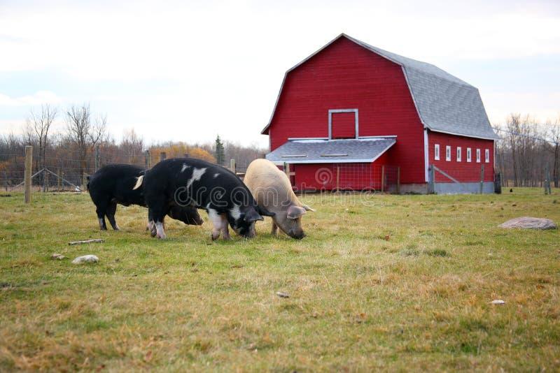 Free Range Pigs Near a Barn royalty free stock photography