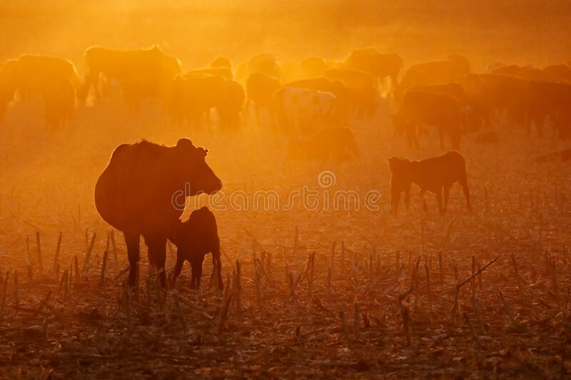 Cattle in dust at sunset. Free-range cattle, including cows and calves, feeding on dusty field at sunset, South Africa stock photography