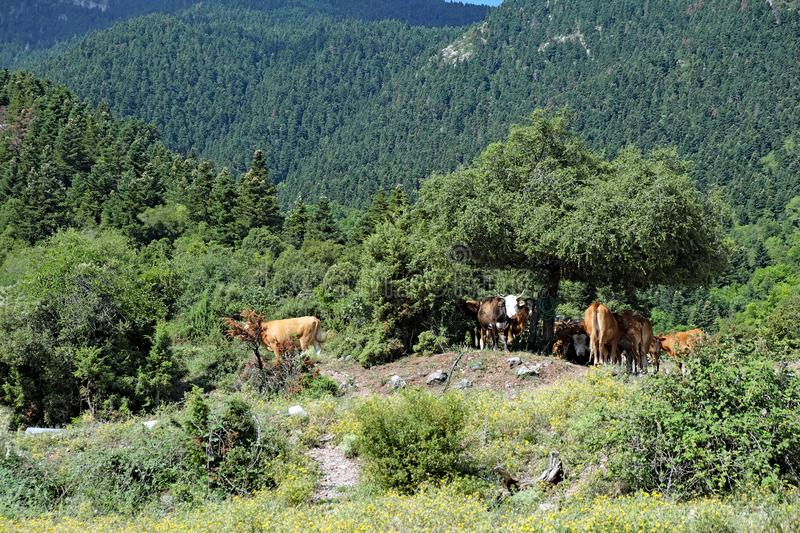 Cattle Resting on Greek Mountain Forest, Greece royalty free stock photography