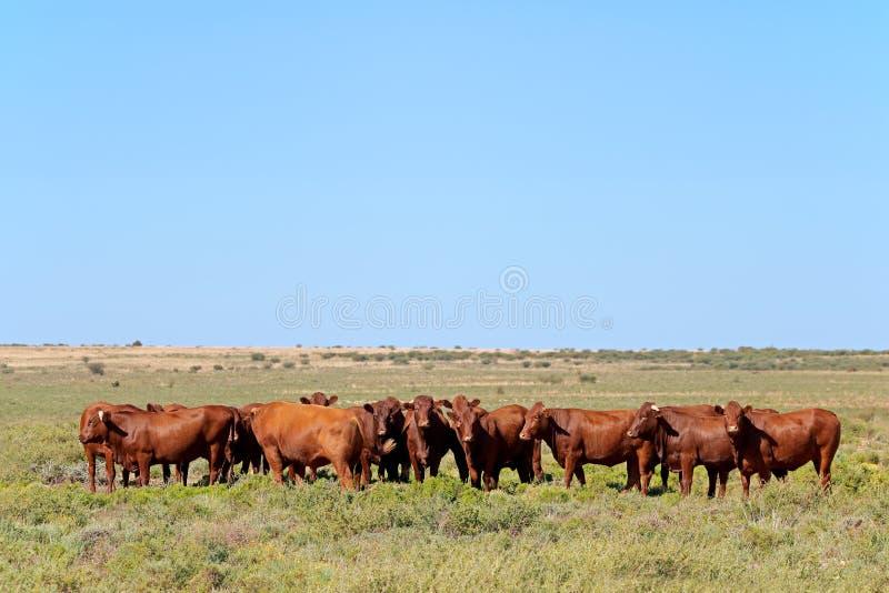 Free-range cattle on rural farm stock photo