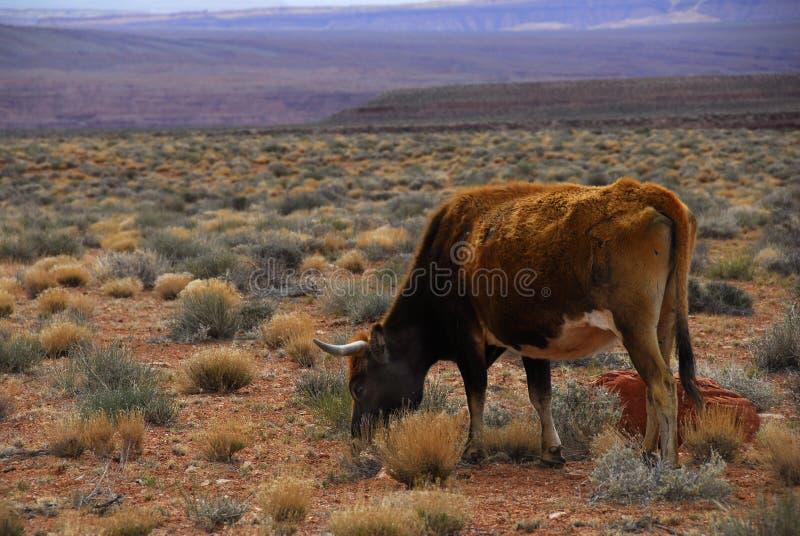 Free Range Cattle Utah Desert Royalty Free Stock Photo