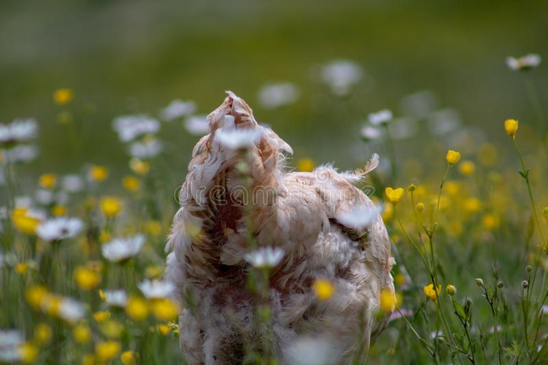 Free range chicken, happily roaming and pecking in a field. Farm life, italian country house.  stock image