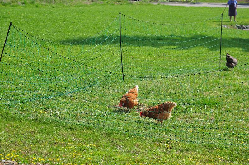 Free-range chicken on meadow fenced with green mesh. Chicken pecking on meadow fenced with green mesh stock photos