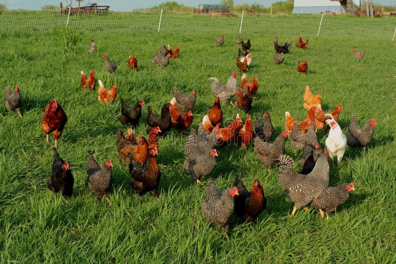 Free range chickens stock photo