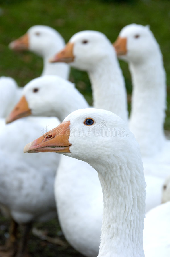Free Free Range Geese Royalty Free Stock Photography - 1380107