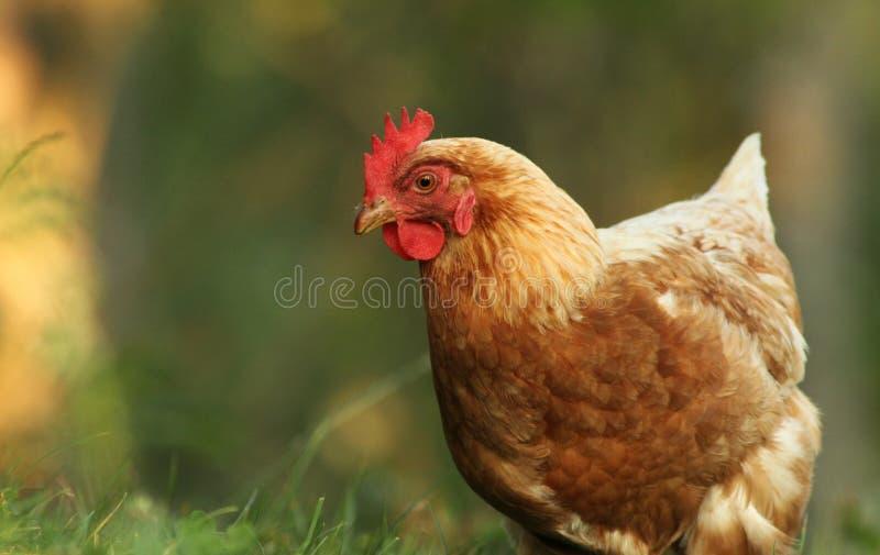 Download Free range hen stock photo. Image of cockerel, farming - 20937972