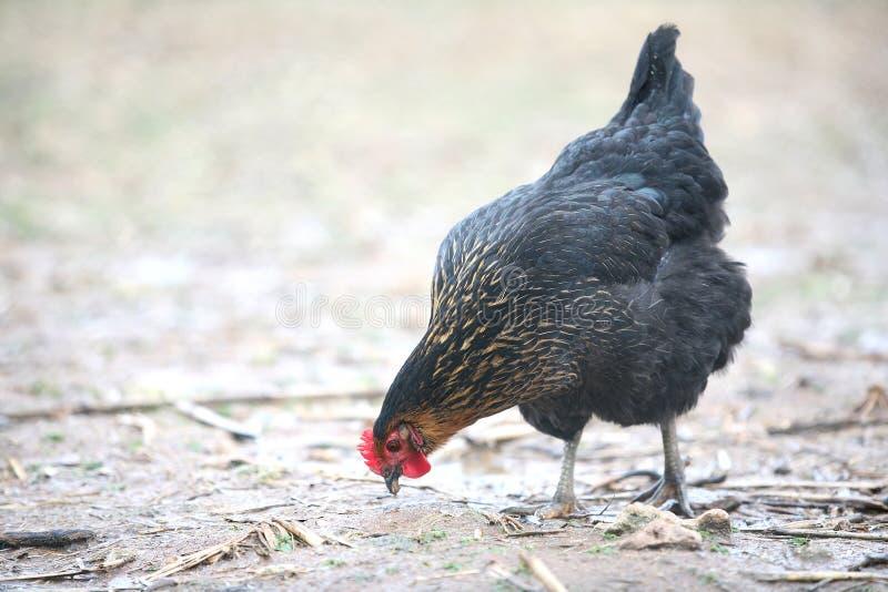Free-range hen royalty free stock image