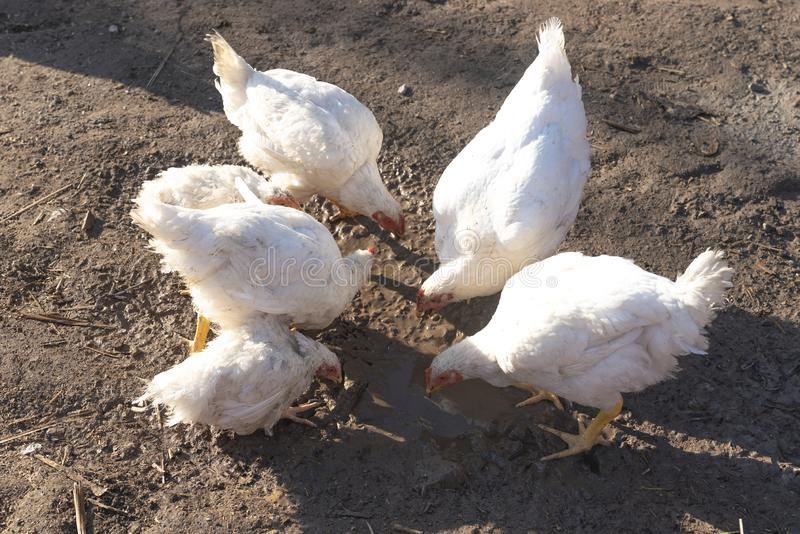 Free range hen digging and scratching for food in mud royalty free stock photos