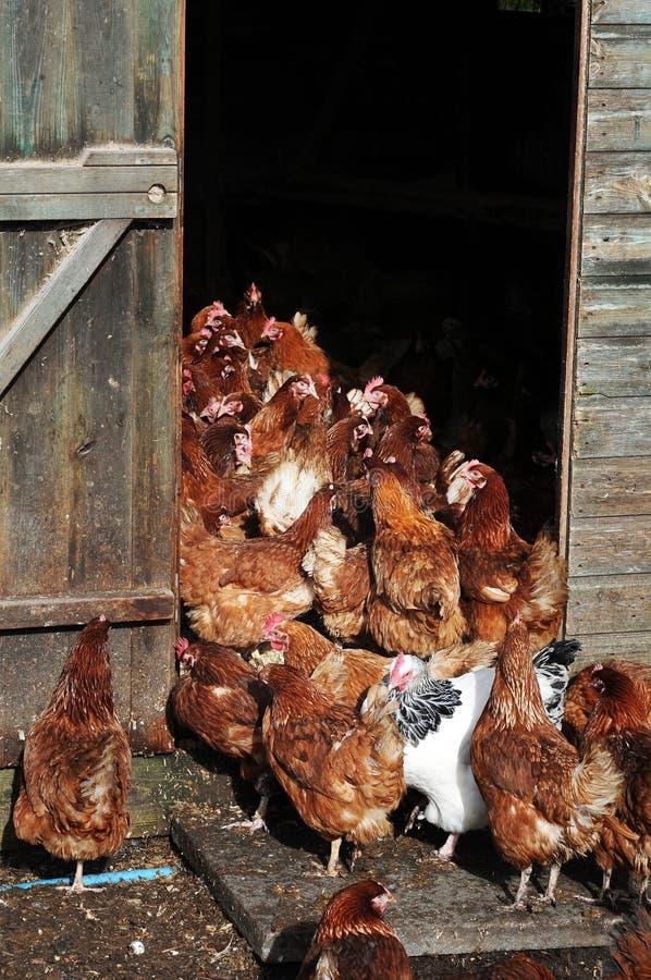 Download Free range hens stock image. Image of rural, group, bird - 18556193