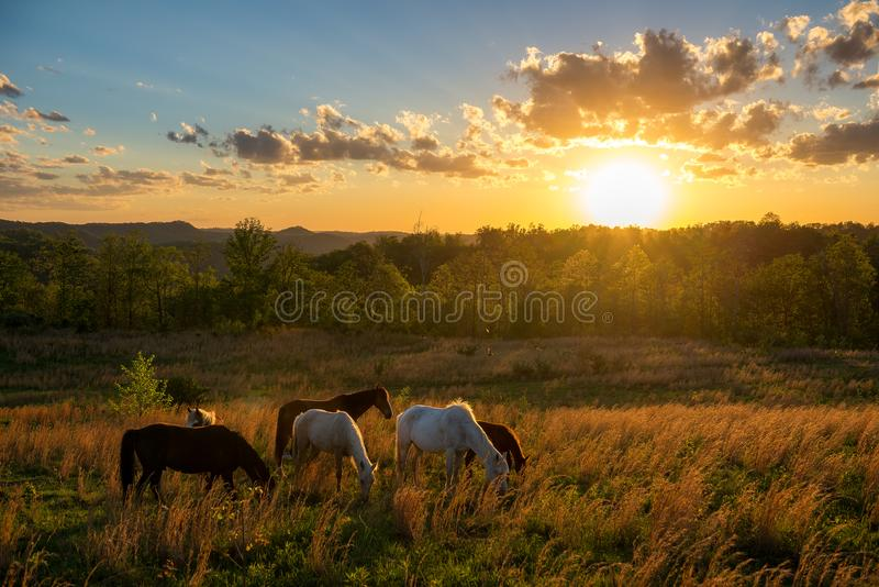 Free range horses, summer sunset, Kentucky. Wild horses and scenic summer sunset in the Appalachian Mountains of Kentucky royalty free stock image