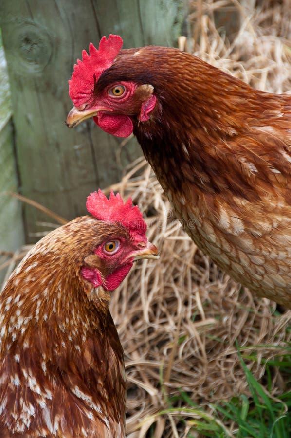 Free range organic chicken stock image