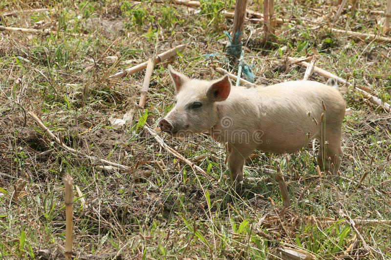 Download Free Range Pig stock photo. Image of meat, farmer, agriculture - 26634850