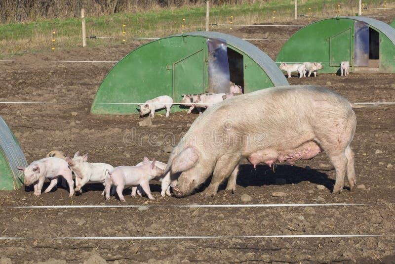 Free range pigs royalty free stock photography