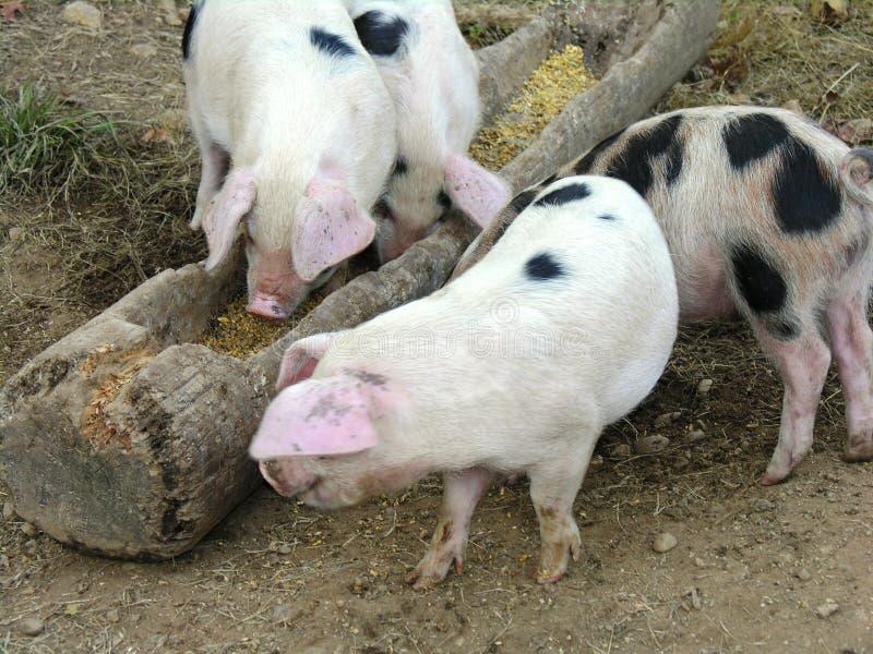 Free Range Pigs Royalty Free Stock Images