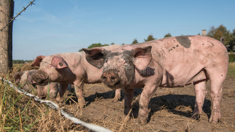Free range pigs behind a fence royalty free stock photo