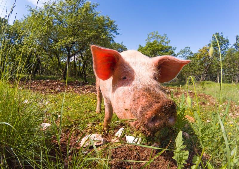 Free range pigs grazing royalty free stock images