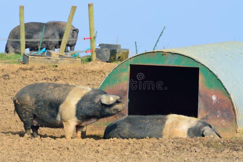 Free range pigs stock photo