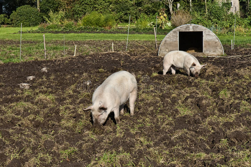 Free Range Pigs royalty free stock image