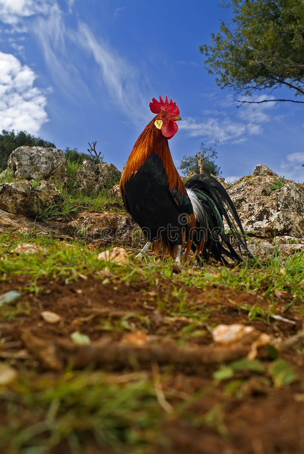 Download Free Range Rooster In A Field Stock Image - Image: 4336595