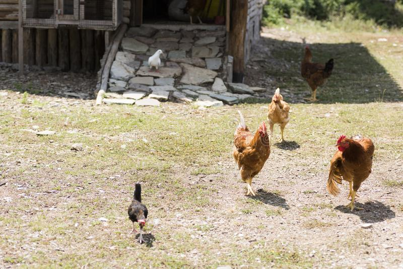 Free-range rooster and hens royalty free stock photo