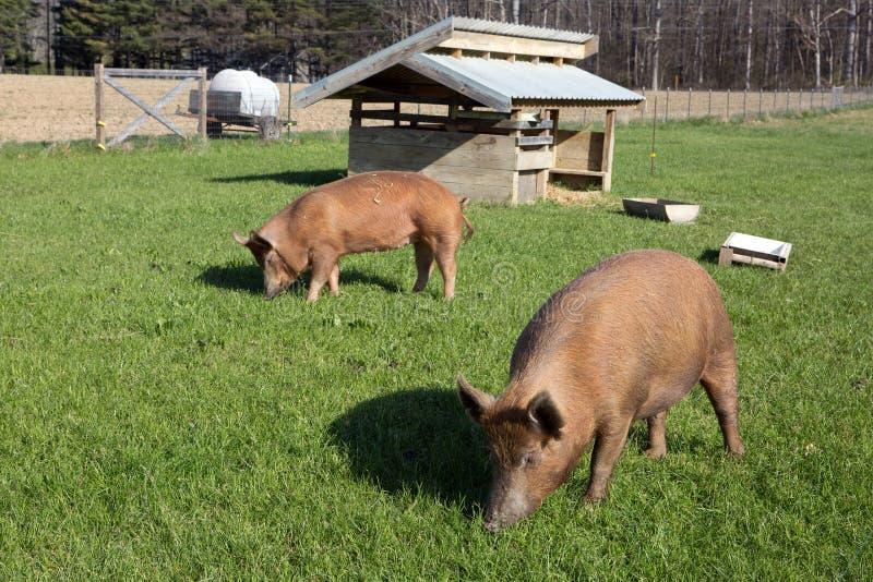 Free Range Tamworth Pigs On Farm royalty free stock photo